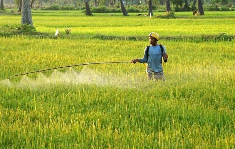 Średniorolne kiści substancje chemiczne na ryżu polu przy zmierzchem zdjęcie royalty free