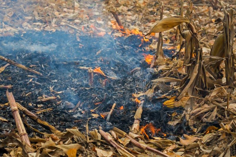 Średniorolnego podpalenia postharvest resztki które wynikali w zabijać mikroorganizmy, zarówno jak i mali zwierzęta i dym, kukuru obrazy stock