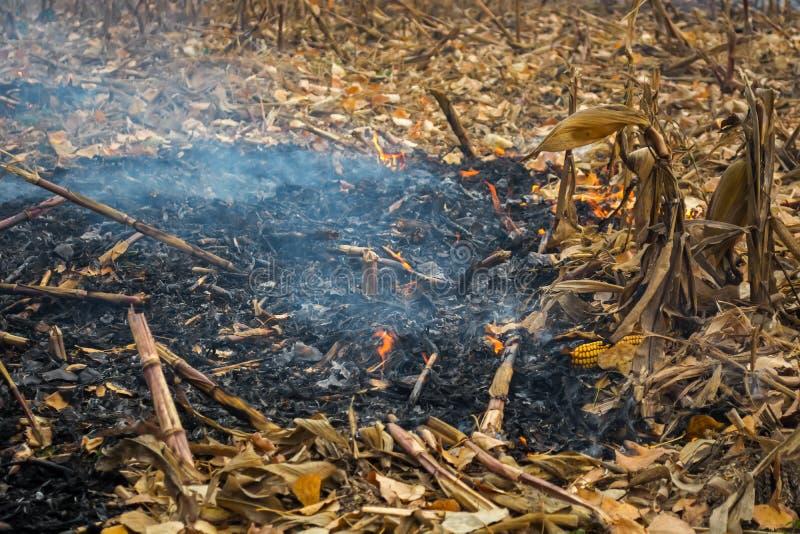 Średniorolnego podpalenia postharvest resztki które wynikali w zabijać mikroorganizmy, zarówno jak i mali zwierzęta i dym, kukuru obraz royalty free