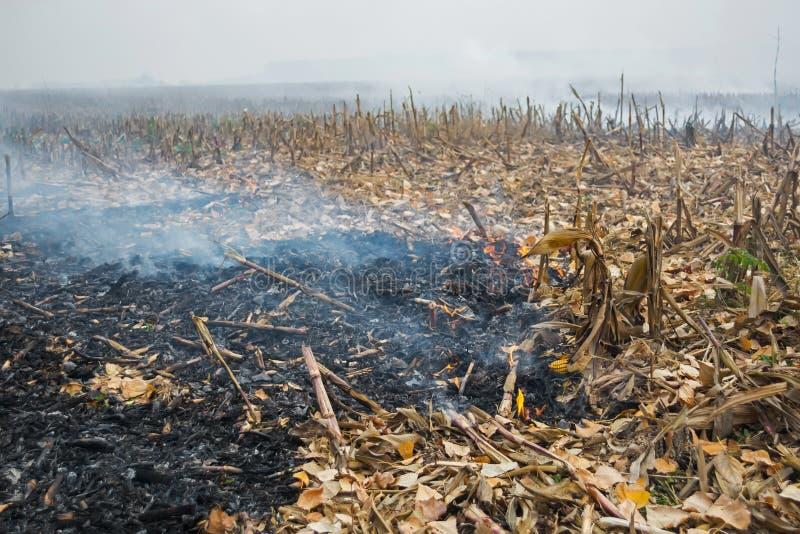 Średniorolnego podpalenia postharvest resztki które wynikali w zabijać mikroorganizmy, zarówno jak i mali zwierzęta i dym, kukuru obrazy royalty free