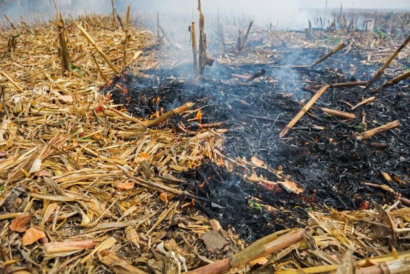 Średniorolnego podpalenia postharvest resztki które wynikali w zabijać mikroorganizmy, zarówno jak i mali zwierzęta i dym, kukuru zdjęcie stock