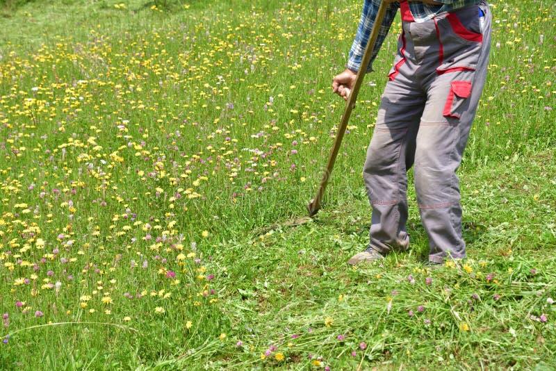 Średniorolnej kośby trawy tradycyjny sposób z ręki kosą fotografia stock