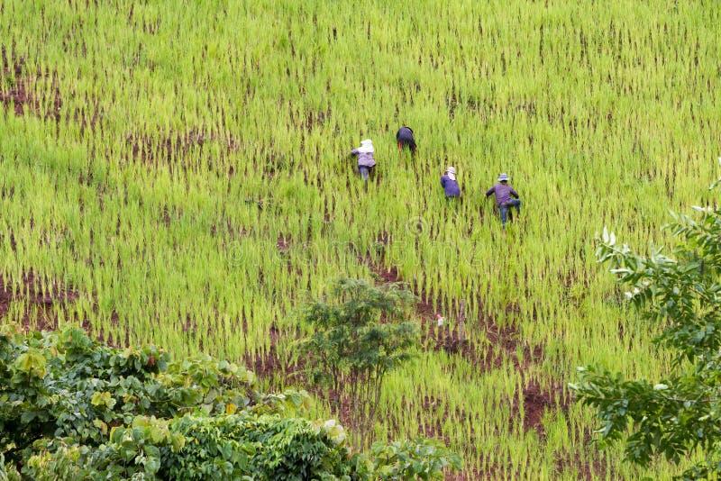 Średniorolni flancowanie ryż na zboczu góry, wysoki elewacja ryż pole z kraju pracować ludźmi zdjęcia royalty free