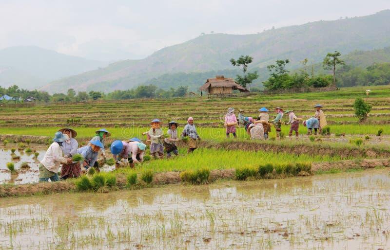 Średniorolni irlandczyków ryż w polu obrazy stock