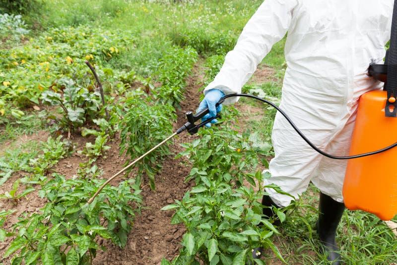 Średniorolni opryskiwań warzywa w ogródzie z herbicydami, pestycydami lub flit, obrazy royalty free