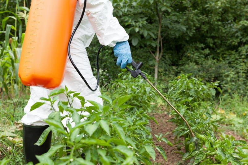 Średniorolni opryskiwanie herbicydy, pestycydy lub flit w jarzynowym ogródzie, fotografia stock