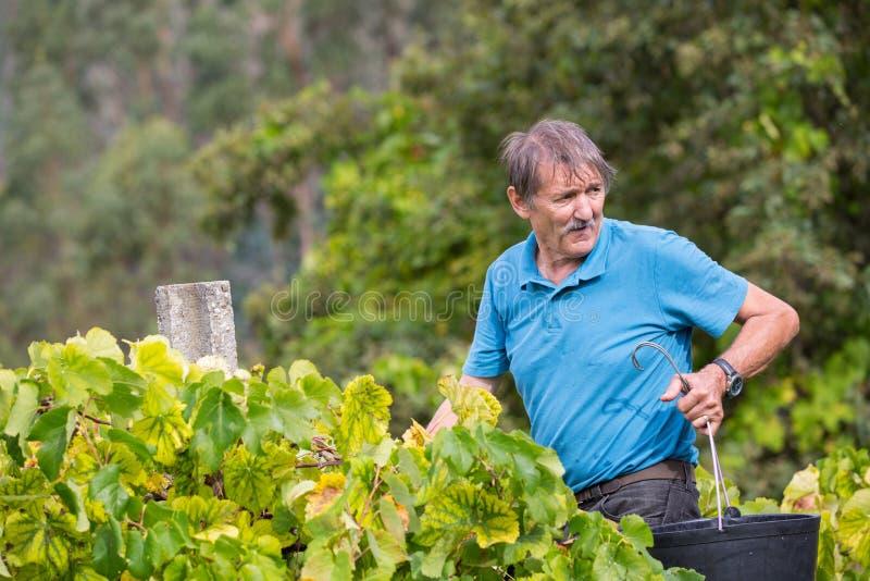 Średniorolni zrywań winogrona podczas żniwa przy winnicą w Bouro, Portugalia fotografia royalty free