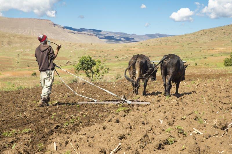 Średniorolny działanie jego pola z wołami w Lesotho obrazy royalty free
