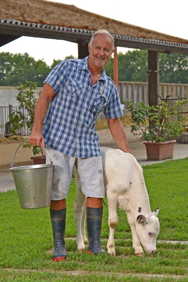 Średniorolny karmienie dziecko bielu krowa zdjęcia royalty free