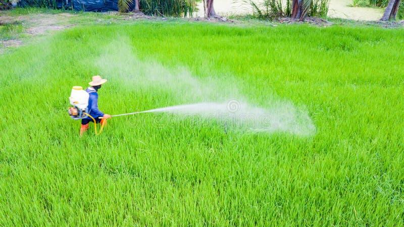 Średniorolny kiść flit w ryż uprawia ziemię fotografia royalty free