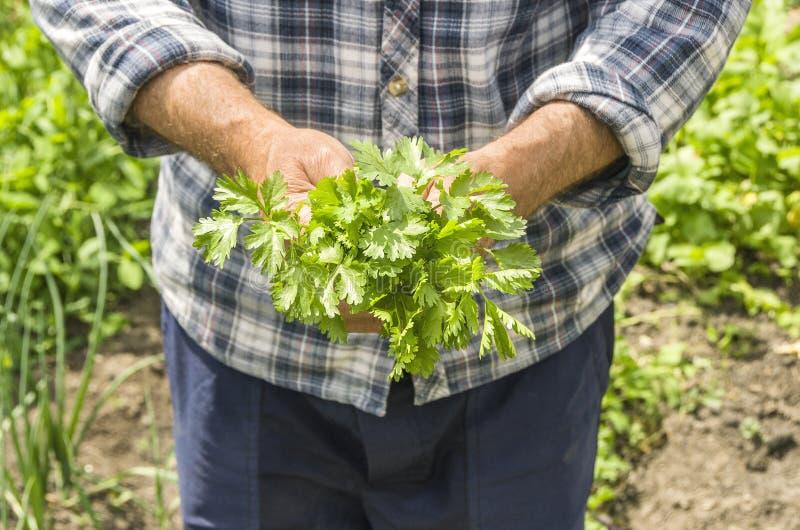Średniorolny mienie cilantro Świeży i żywności organiczna greensward obrazy stock