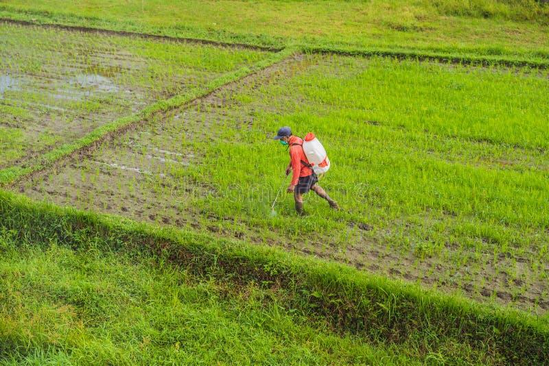 Średniorolny opryskiwanie pestycyd ryż flit natryskownicą z właściwą ochroną w irlandczyka polu fotografia royalty free