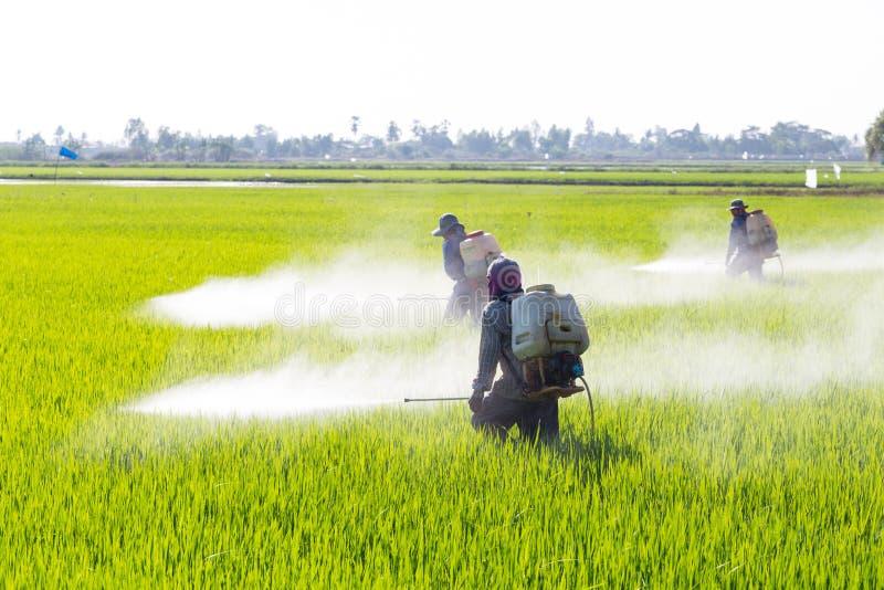 Średniorolny opryskiwanie pestycyd w ryżowym polu fotografia stock