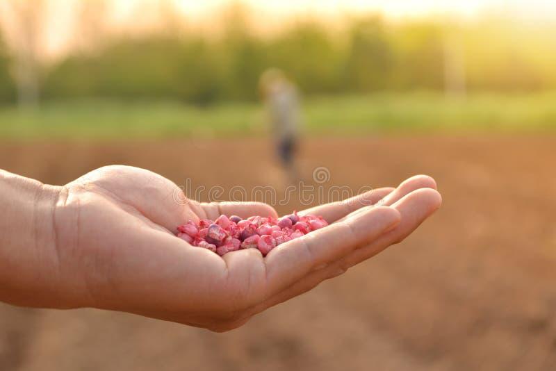 Średniorolny ręki mienia kukurudzy ziarno dla siać w ogródzie zdjęcie royalty free