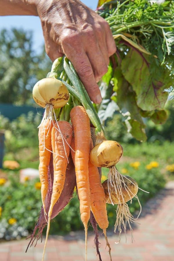 Średniorolny trzymający beetroot, marchewki i cebuli w podwórko świeżo zbierających wyprodukowany lokalnie organicznie, obraz stock