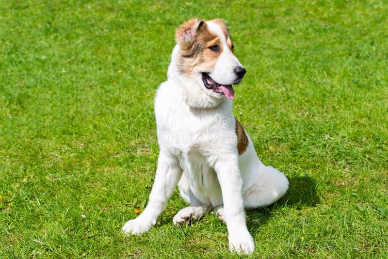Środkowi Azjatyccy Pasterskiego psa szczeniaka spojrzenia zdjęcie royalty free
