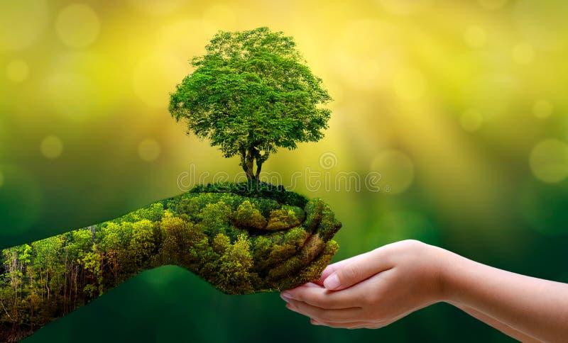 Środowisko Ziemski dzień W rękach drzewa r rozsady Bokeh zielenieje tło ręki mienia Żeńskiego drzewa na natury pola grą