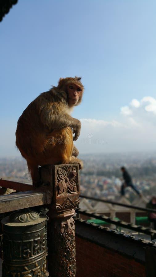 Świątyni małpa zdjęcie royalty free
