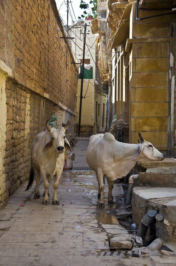 święci krowa ind zdjęcia stock