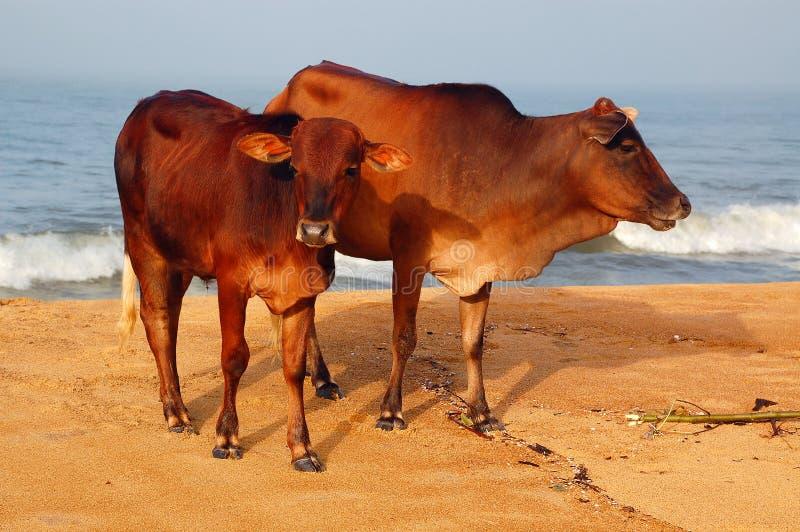 święta łydkowa krowa obrazy royalty free
