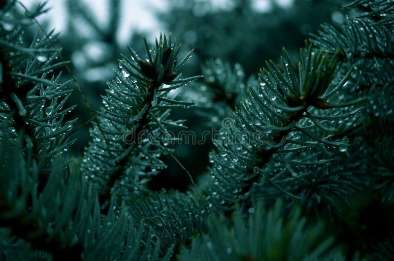 Święta zielone drzewa zdjęcia stock