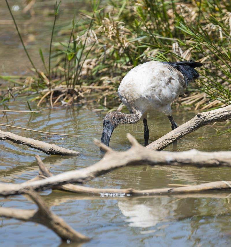 Świętego ibisa karmienie fotografia royalty free
