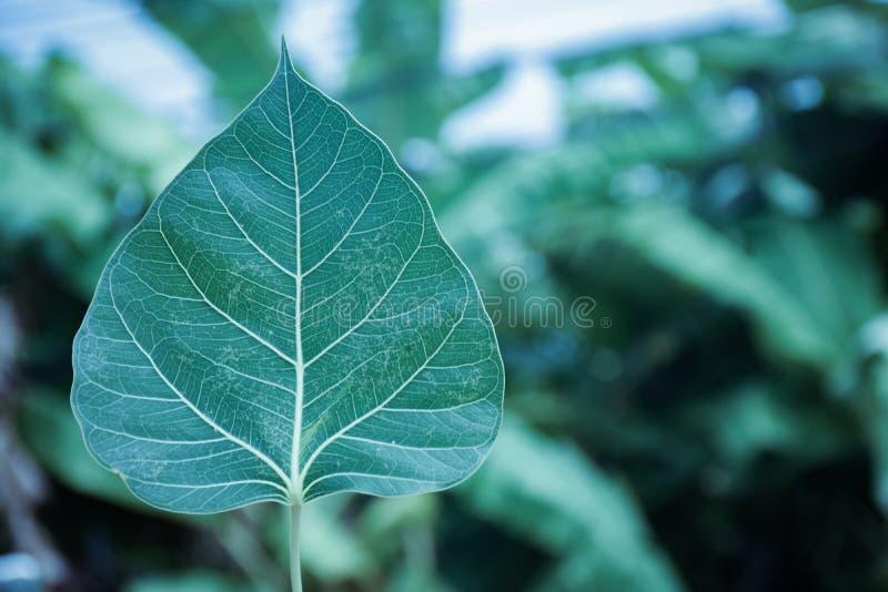 Świętej figi liście zdjęcia stock