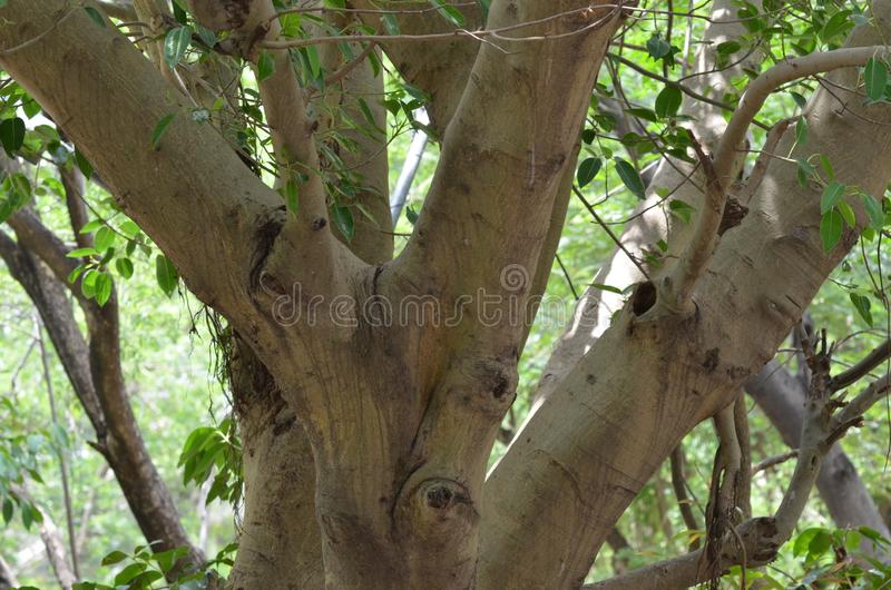 Świętej figi Pipal drzewo zdjęcie stock