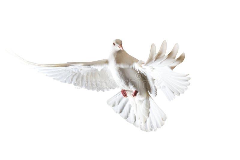 Święty biały gołąbki latanie na białym tle fotografia royalty free