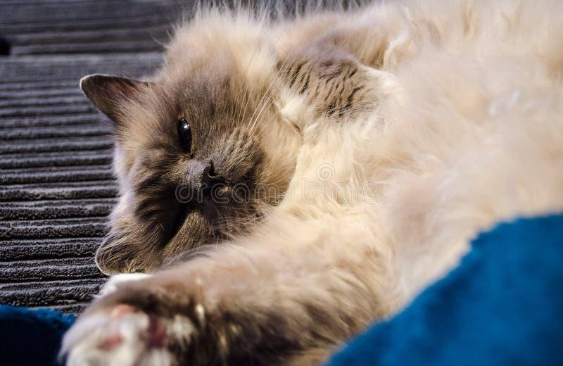 Święty birman kota bawić się fotografia stock