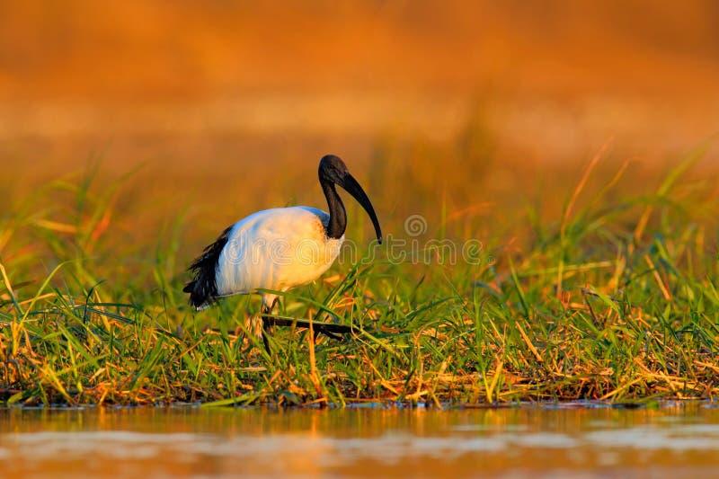 Święty ibis, Threskiornis aethiopicus, biały ptak z czerni głową Ibisa żywieniowy jedzenie w jeziorze Piękny ranku słońce z ptaki fotografia royalty free