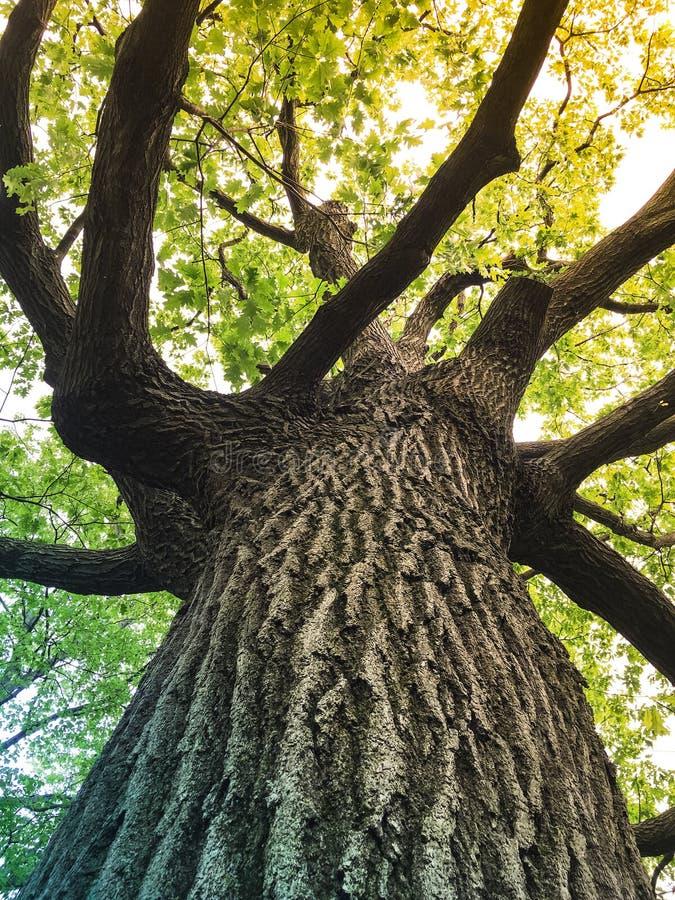 Światła słonecznego przybycie przez zielonych liści dębowy drzewo obrazy stock