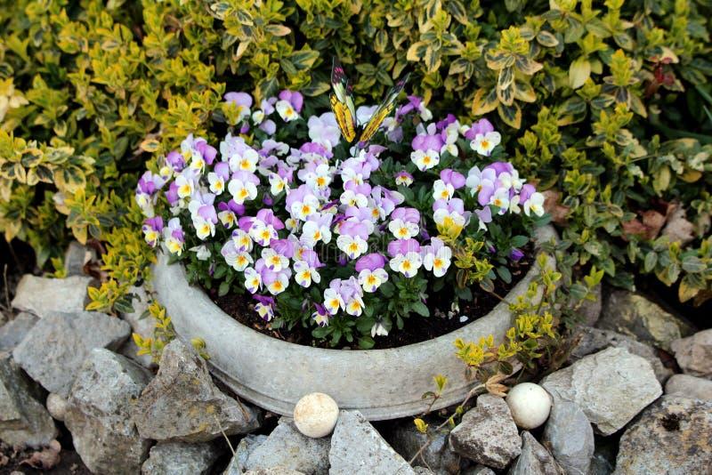 Światło Dziki pansy lub altówka tricolor mali dzicy kwiaty gęsto zasadzający w kamiennym kwiatu garnku otaczającym z - purpur i b obraz stock