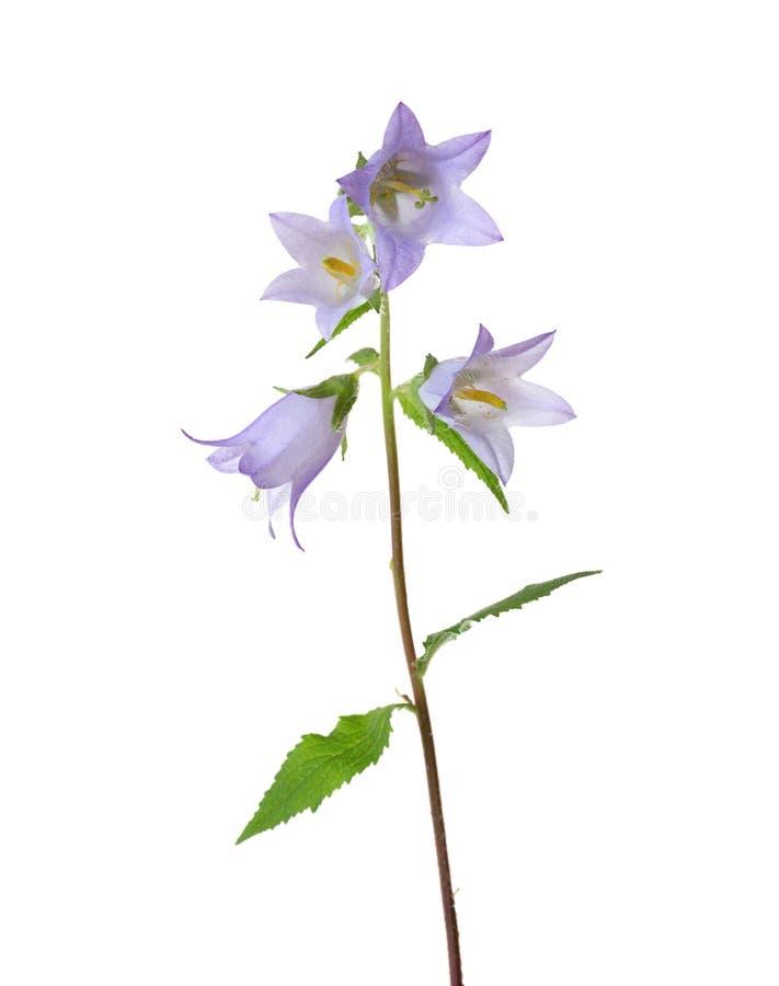 Światło - fiołkowi Bellflowers odizolowywający na bielu zdjęcie royalty free