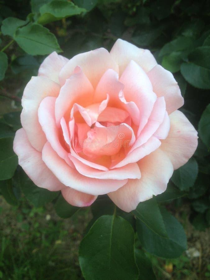 Światło Paryż, Francja - menchii róża dla someone specjalnego - zdjęcia royalty free