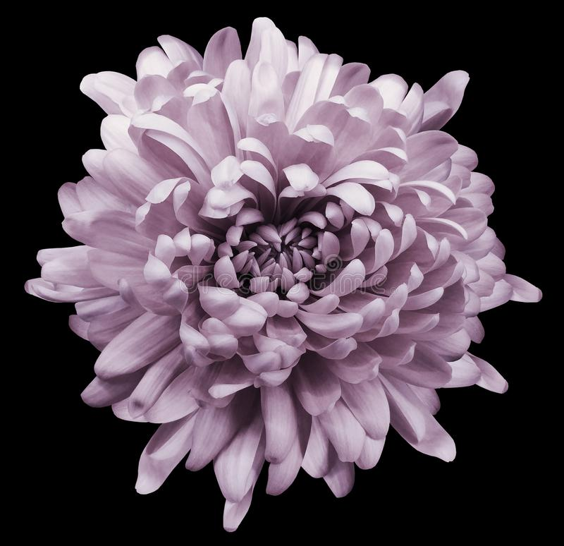 Światło - różowa chryzantema Kwitnie na czarnym odosobnionym tle z ścinek ścieżką Zakończenie Żadny cienie zdjęcie stock
