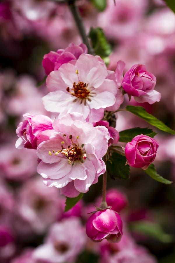 Światło - różowi krab jabłoni kwiaty zdjęcia stock