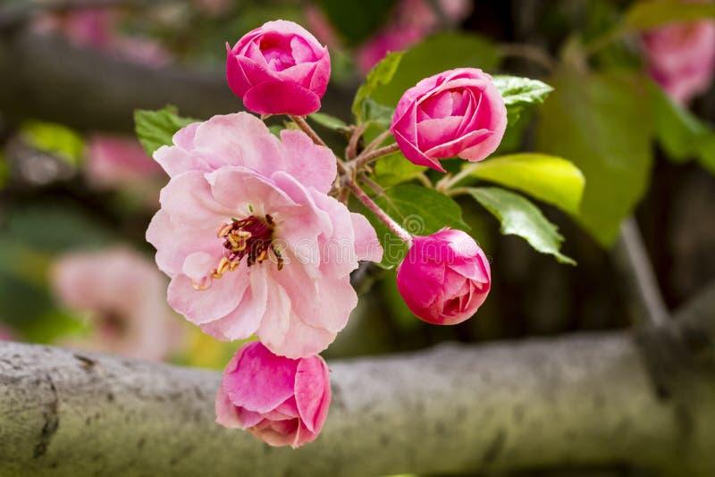 Światło - różowi krab jabłoni kwiaty zdjęcie royalty free