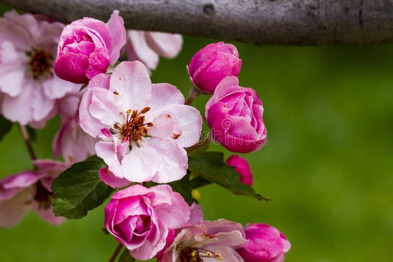 Światło - różowi krab jabłoni kwiaty fotografia royalty free