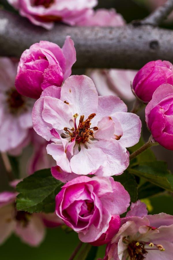 Światło - różowi krab jabłoni kwiaty obraz stock
