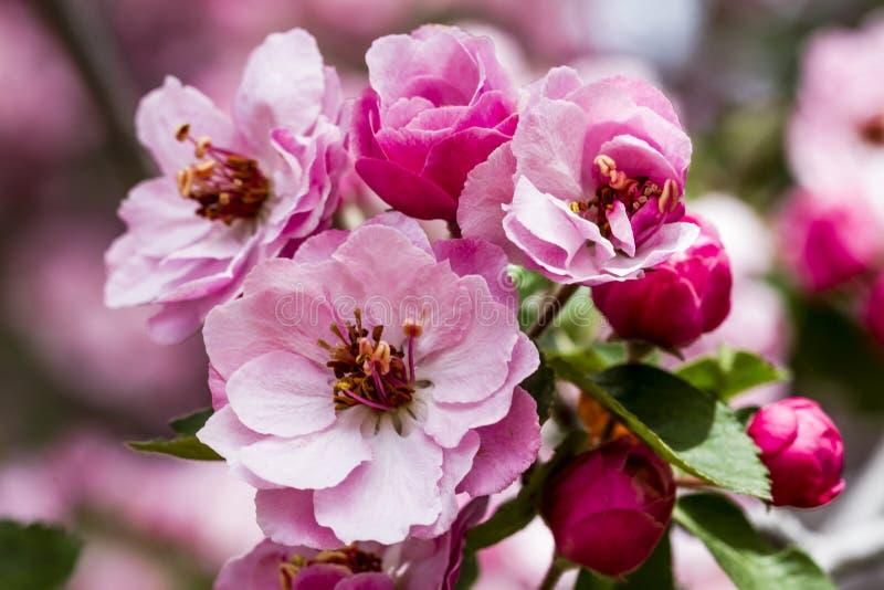 Światło - różowi krab jabłoni kwiaty zdjęcia royalty free