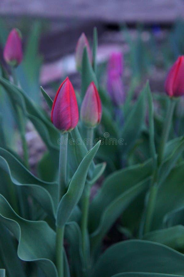 Światło - różowi tulipany z świeżymi zielonymi liśćmi są jeden piękni kwiaty w ogródzie zdjęcia stock