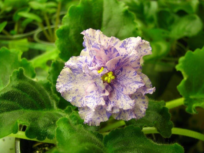 Światło - różowy falisty kwiat z błękitnymi fantazj uderzeniami na zielonym tle obrazy royalty free