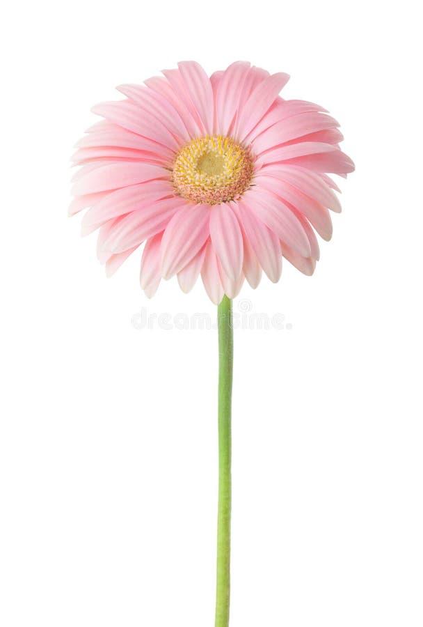 Światło - różowy Gerbera kwiat odizolowywający na białym tle zdjęcia stock
