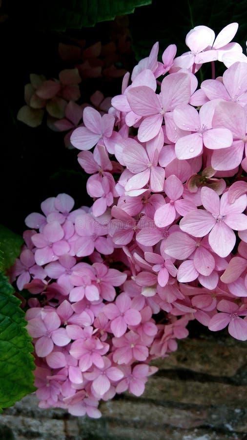 Światło - różowy hortensia krzak zdjęcie royalty free