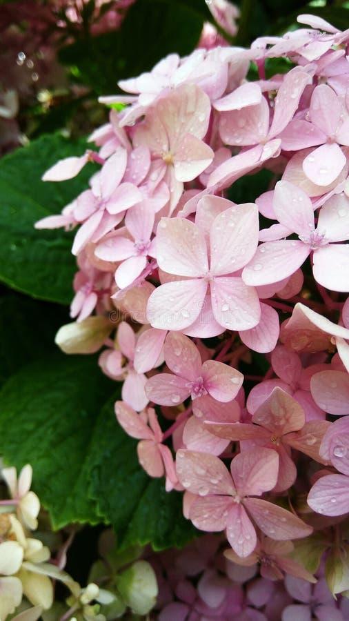Światło - różowy hortensia krzak obrazy royalty free