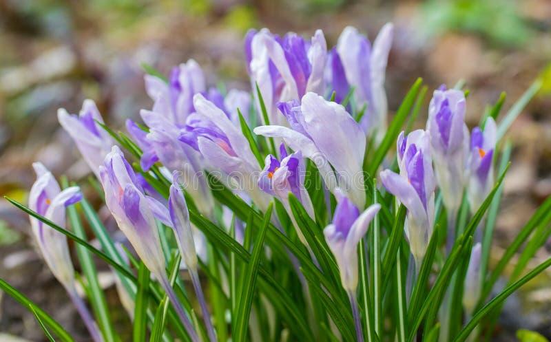 Światło - różowy krokusa kwiatu dywan z wczesną wiosną Krokusa Iridaceae obraz royalty free