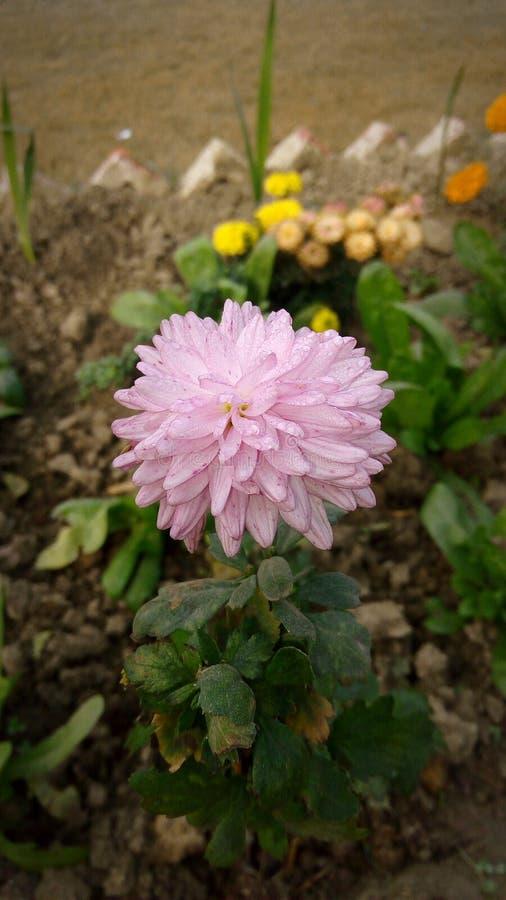 Światło - różowy kwiat zdjęcie stock