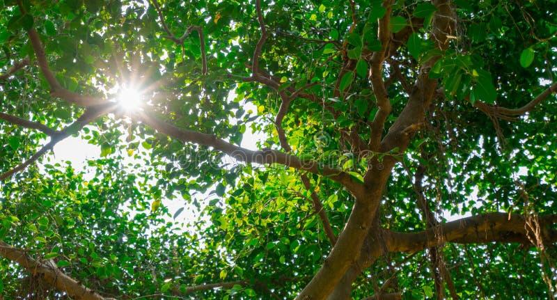 Światło słoneczne błyszczy przez zielonych liści banyan drzewo zdjęcie royalty free