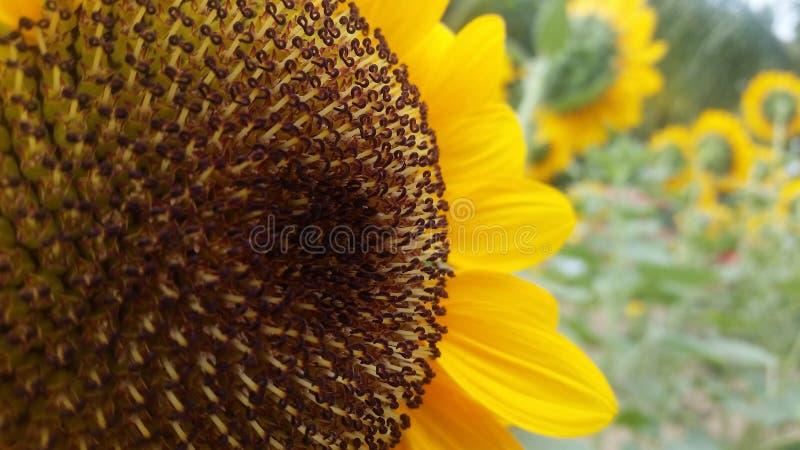 Światło słoneczne lizak fotografia stock